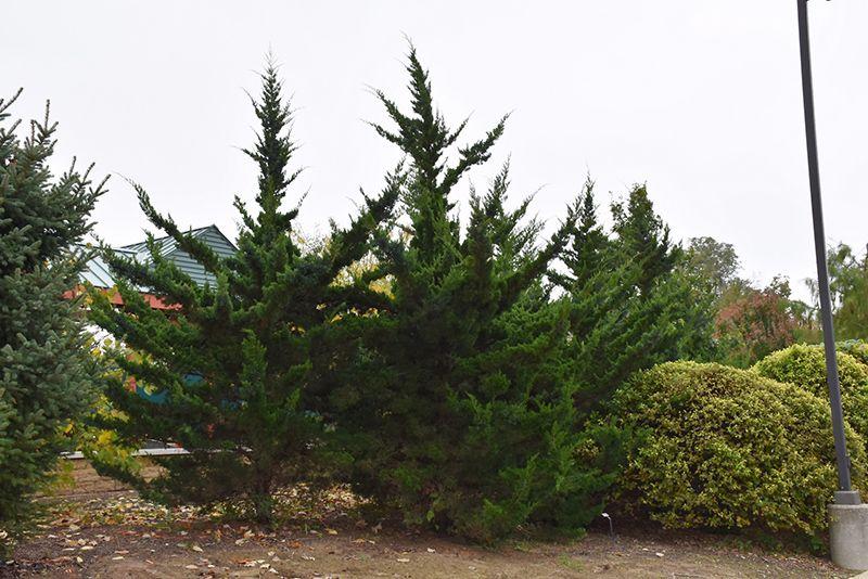 Find Canaertii Redcedar Juniperus Virginiana