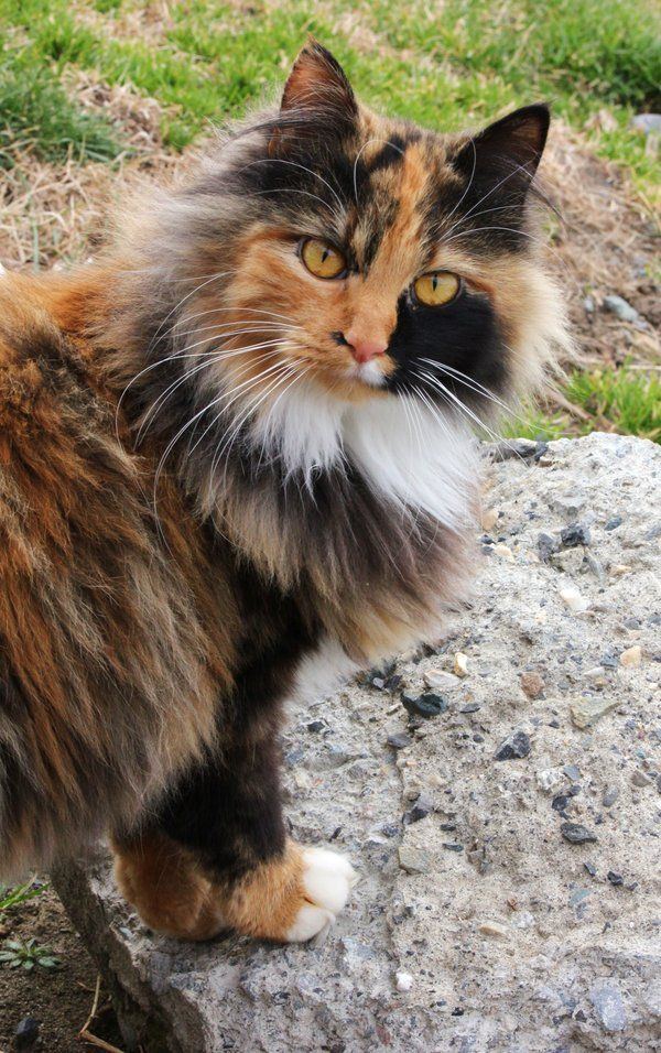 Calico Cat By Viva La Cheese On Deviantart Long Haired Cats Calico Cat Pretty Cats