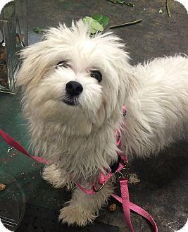 Seattle Wa Maltese Havanese Mix Meet Lily A Dog For Adoption