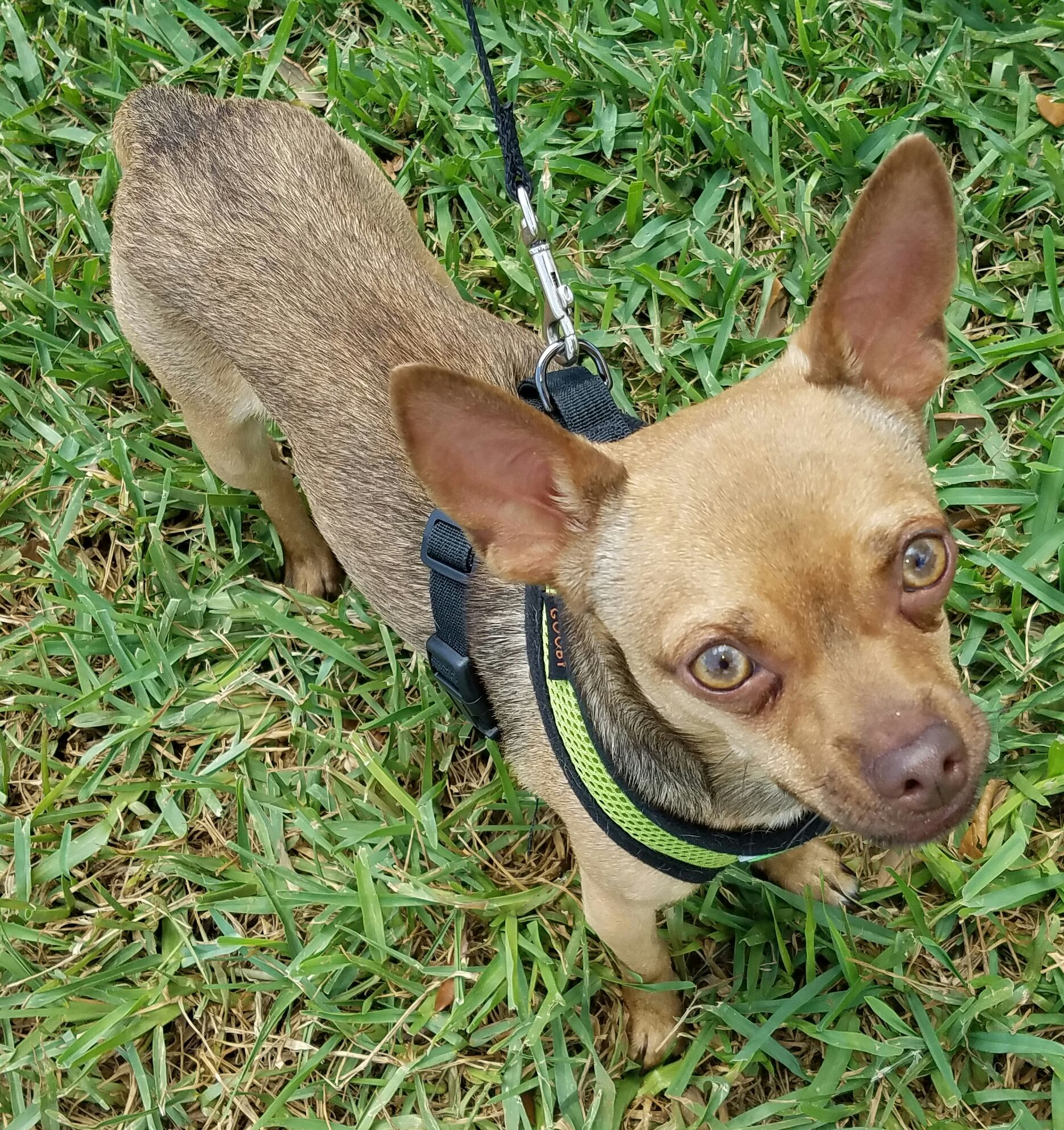 Chihuahua dog for adoption in royal palm beach fl adn