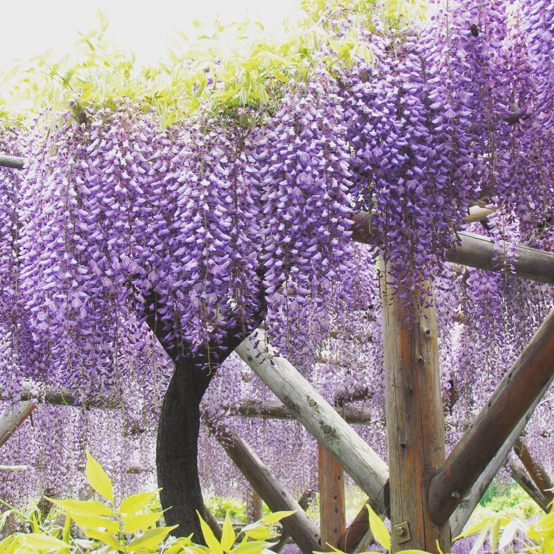 Wisteria Festival In Kameido Tenjin Shrine Until 5 May Japantravel Tokyo Shrine Flowerstagram Flowerfestival Instagram Instagram Posts Japan Travel