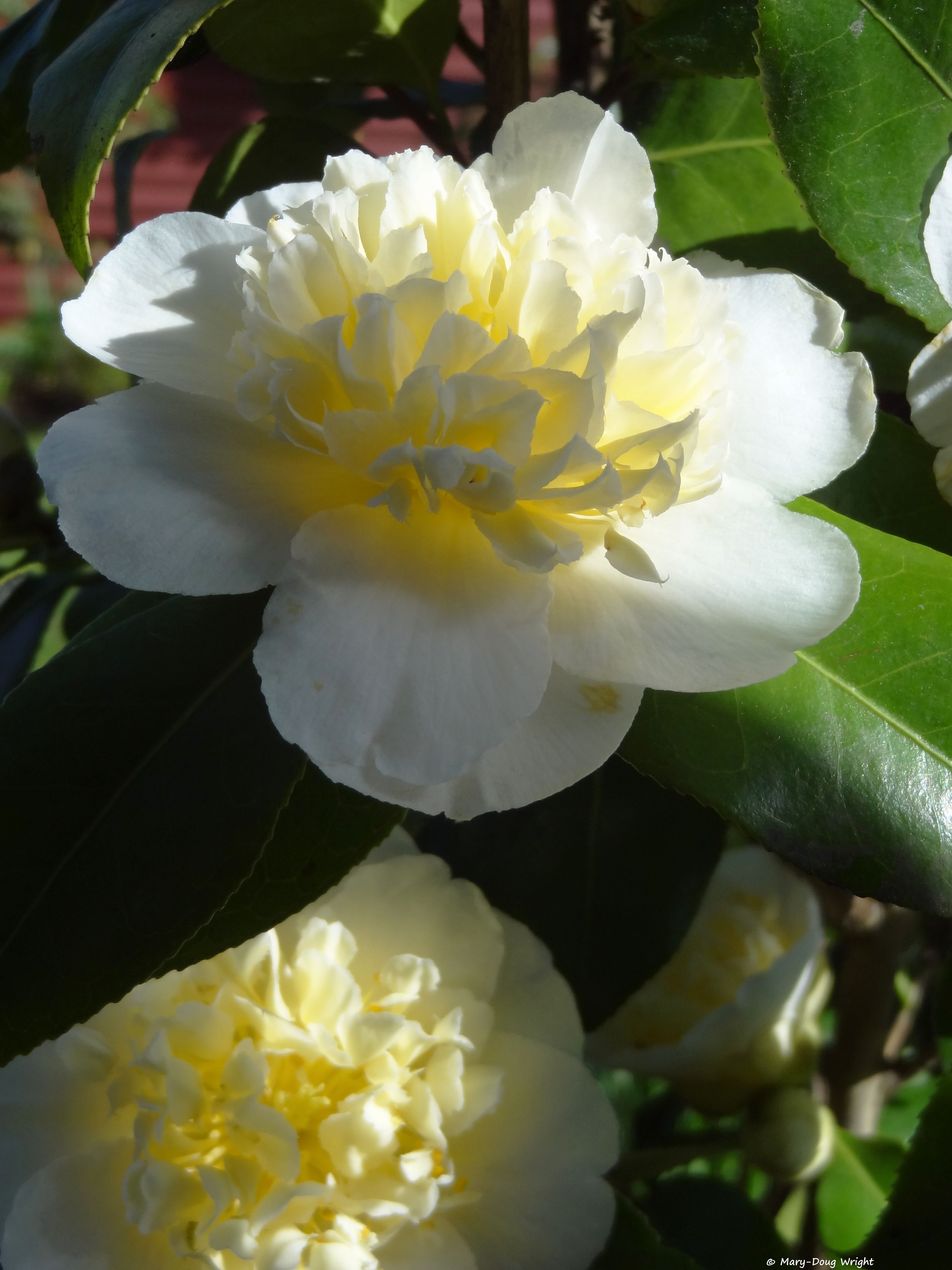 Camellia japonica. #photoaday day020