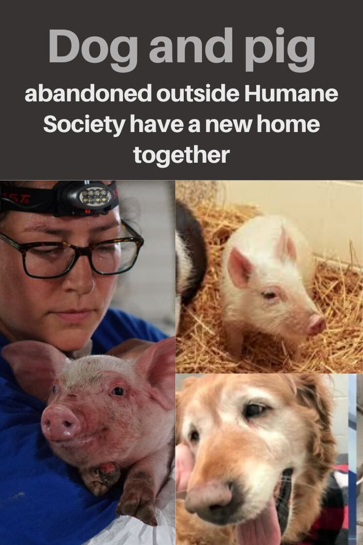 A golden retriever and pig that were abandoned outside the