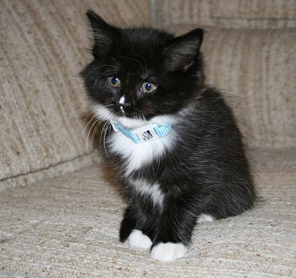 Tuxedo Cat Pictures Cute Baby Animals Black And White Kittens White Cats