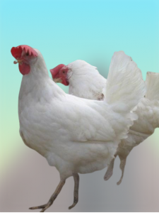 دجاج الليجهورن