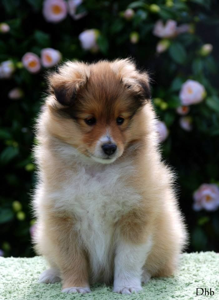 Baby Bear Sheltie Dogs Collie Puppies Pet Dogs