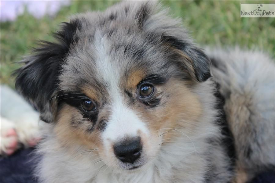 Meet Blue Merle Female A Cute Miniature Australian Shepherd Puppy