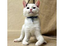 Harvey The Kitten Learns To Walk On His Elbows After Being Born