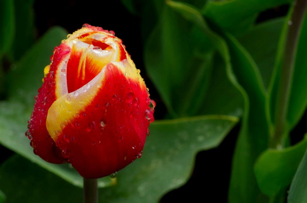 цветок капли красиво: 6 тыс изображений найдено в Яндекс ...
