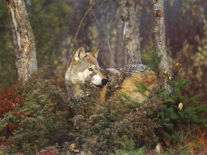 Пин на доске Волки