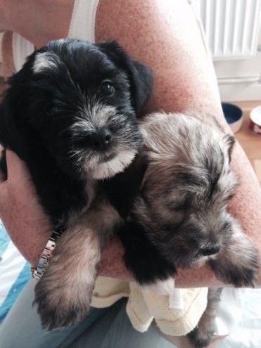 Tibetan Terrier Cross Schnauzer Puppies Bromley Kent Pets4homes Schnauzer Puppy Tibetan Terrier Puppies