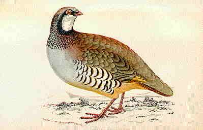partridge birds pictures - Google Search