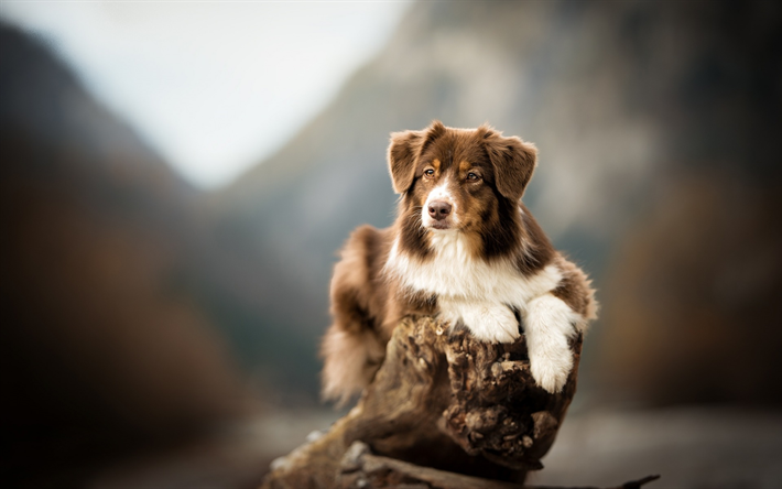 Download wallpapers Aussie, brown and white dog