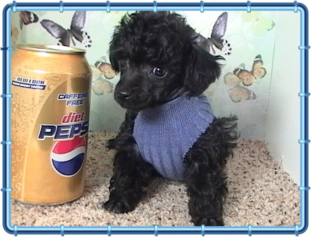 Teacup poodle! Micro teacup poodle, Poodle puppies for