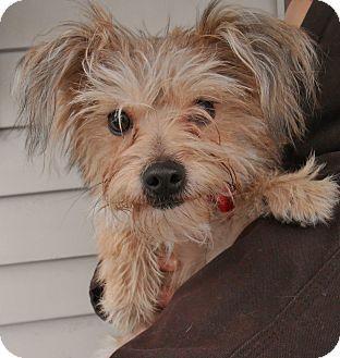 Murphysboro Il Yorkie Yorkshire Terrier Mix Meet Sammy A Dog