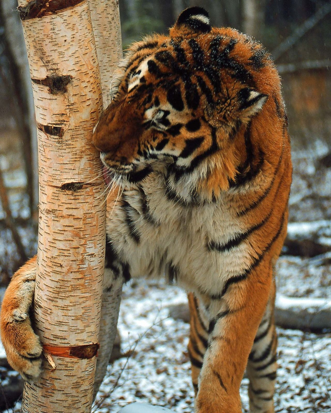 Tree Tiger Big cats, Animals beautiful, Wild cats