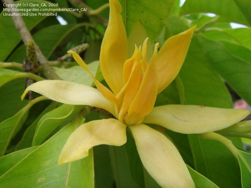 Plantfiles Pictures Yellow Jade Orchid Tree Fragrant Champaca Fragrant Himalayan Champaca Magnolia Champaca By Clare Orchid Tree Garden Trees Plant Leaves