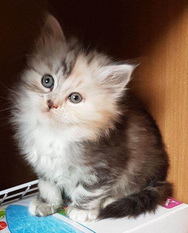 Kleine Katze Kaufen