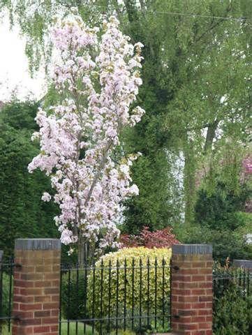 Oriental Cherry Amanogawa Flowering Cherry Tree Small Trees For Garden Flowering Trees