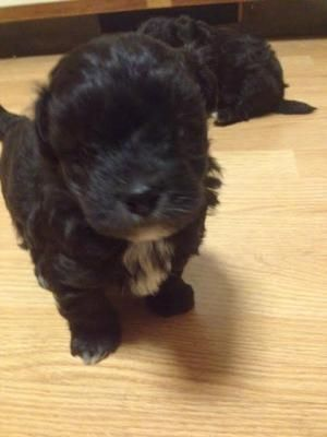 Pamsdollhouse Available Puppies Havapoo Puppies Puppies