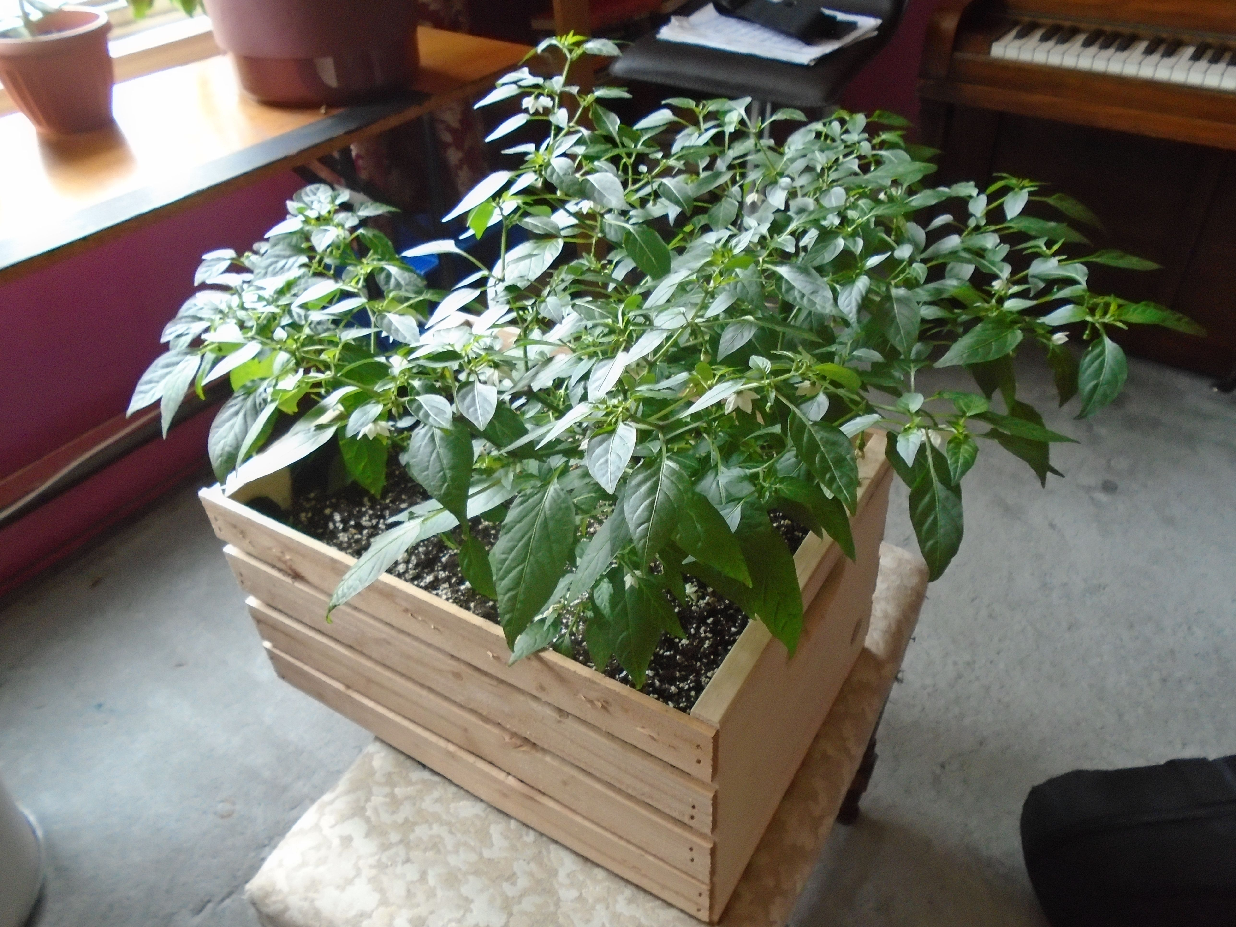 Cayennetta Pepper Plant, Getting Really Big Making Lots Of