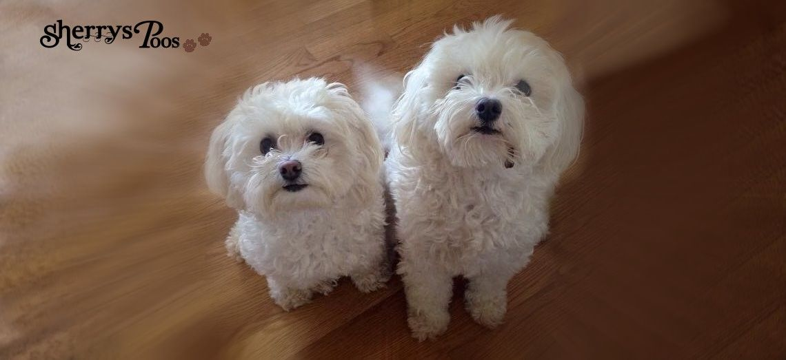 Home Sherrys Maltipoos Maltese puppies for sale
