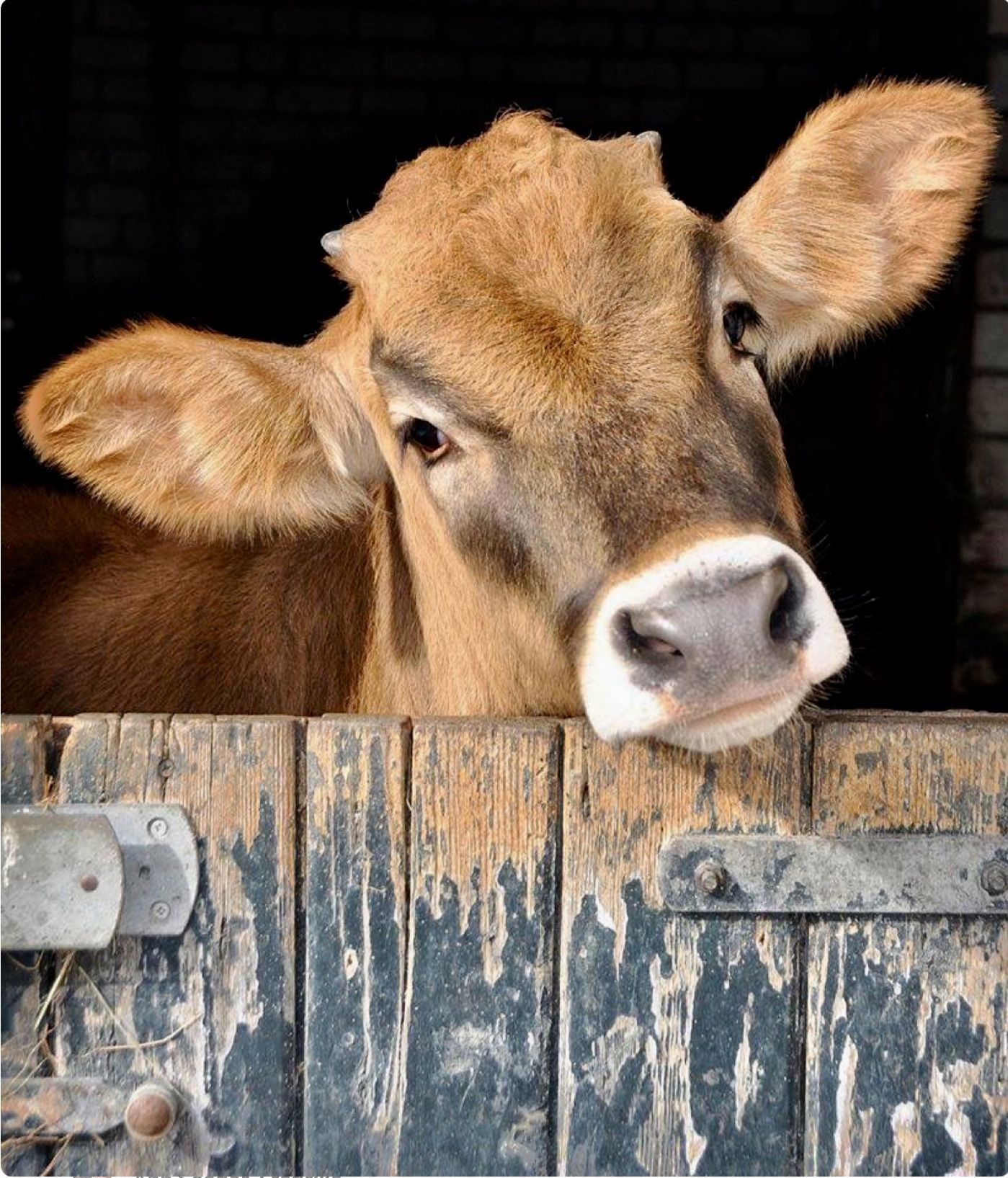 Curious Jersey cow looking over her stall door. What a