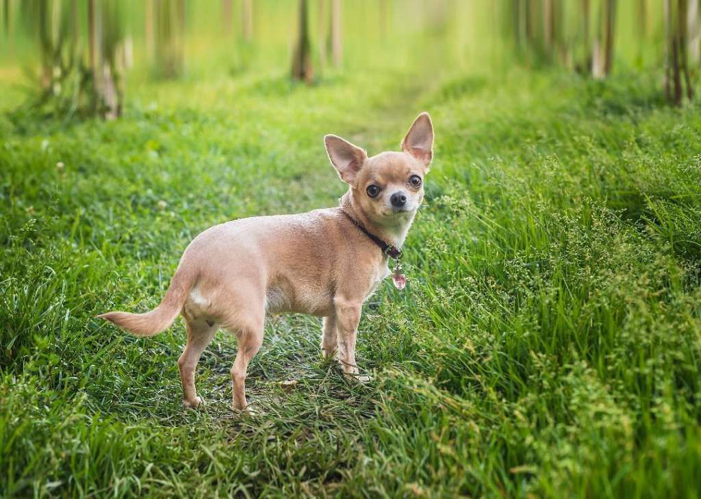 Origins Of The 50 Most Popular Dog Breeds Chihuahua Dogs How