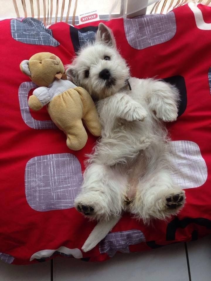 Image result for westie dog, sleeping with me