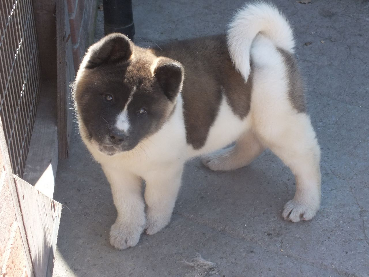 Akita Puppies For Sale Newark Nottinghamshire Pets4homes
