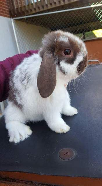 Picture Holland lop, Holland, Bunny