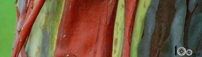 Радужный эвкалипт - одно из самых необычных деревьев планеты