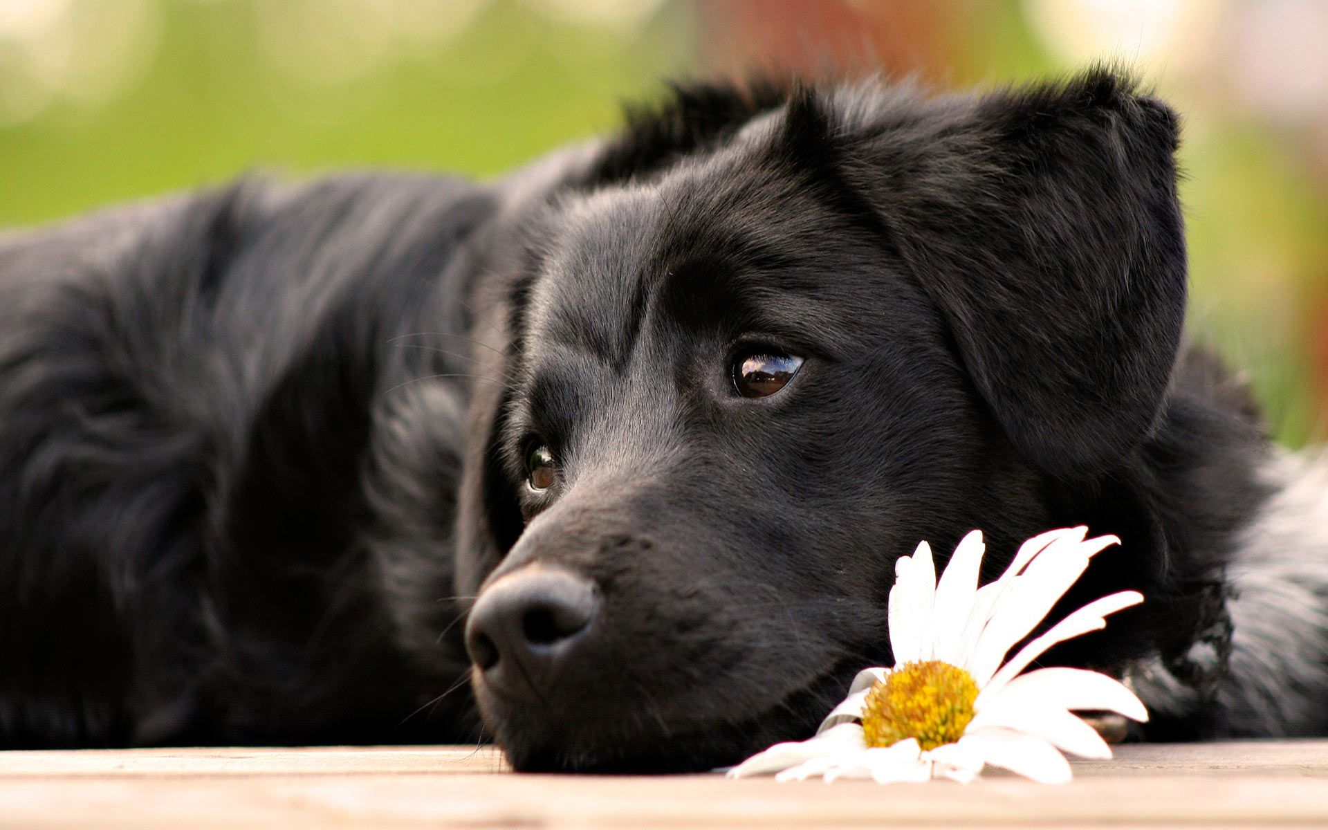 Free Cute Black Dog With Flower Computer Desktop Wallpaper Beautiful Dogs Dogs And Puppies Baby Dogs