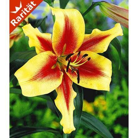 Lavon®\u0027 Tree-Lily®, 3 Knollen - BALDUR-Garten GmbH Lilien