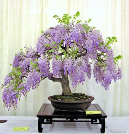 Grow Wisteria In A Pot Video Tutorial The Whoot Wisteria Bonsai Wisteria Tree Bonsai Seeds