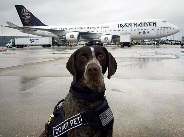 Mogrart is a real trooper when it comes to taking advantage of photo opportunities. He's based out of the Chicago O'Hare International Airport where he works with Paul, his handler, to help keep our transportation systems safe. Rock on, Mogrart. Rock on. #TSAOnTheJob #DogsOfInstagram #WorkingDogs #IronMaiden