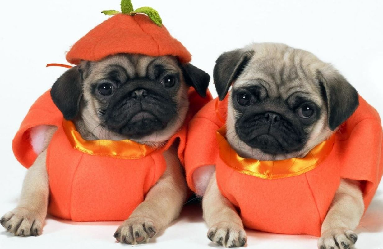 15 Insta Pets Who Are Too Cute For Halloween Pug Halloween Costumes Pet Costumes Dog Halloween