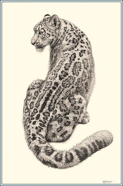 Leopard Pencil Drawings 'Cat in the Cool' - Sn...