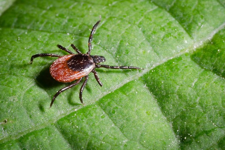 The Manual How To Remove A Tick A Simple Guide To Safely Getting