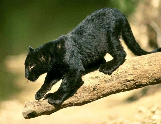 Learning Panther Les Chats Sauvages Animales Felin
