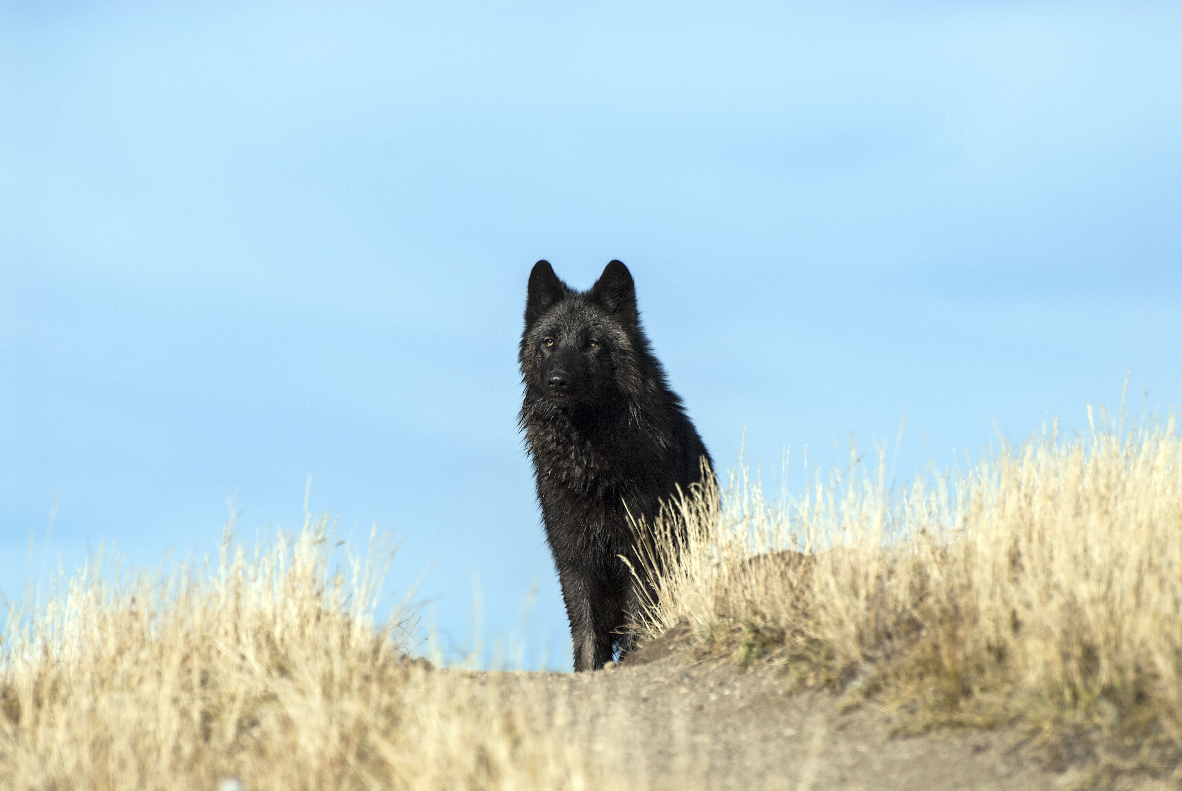 We Were Wrong About Wolves, Here's Why in 2020 Wolf