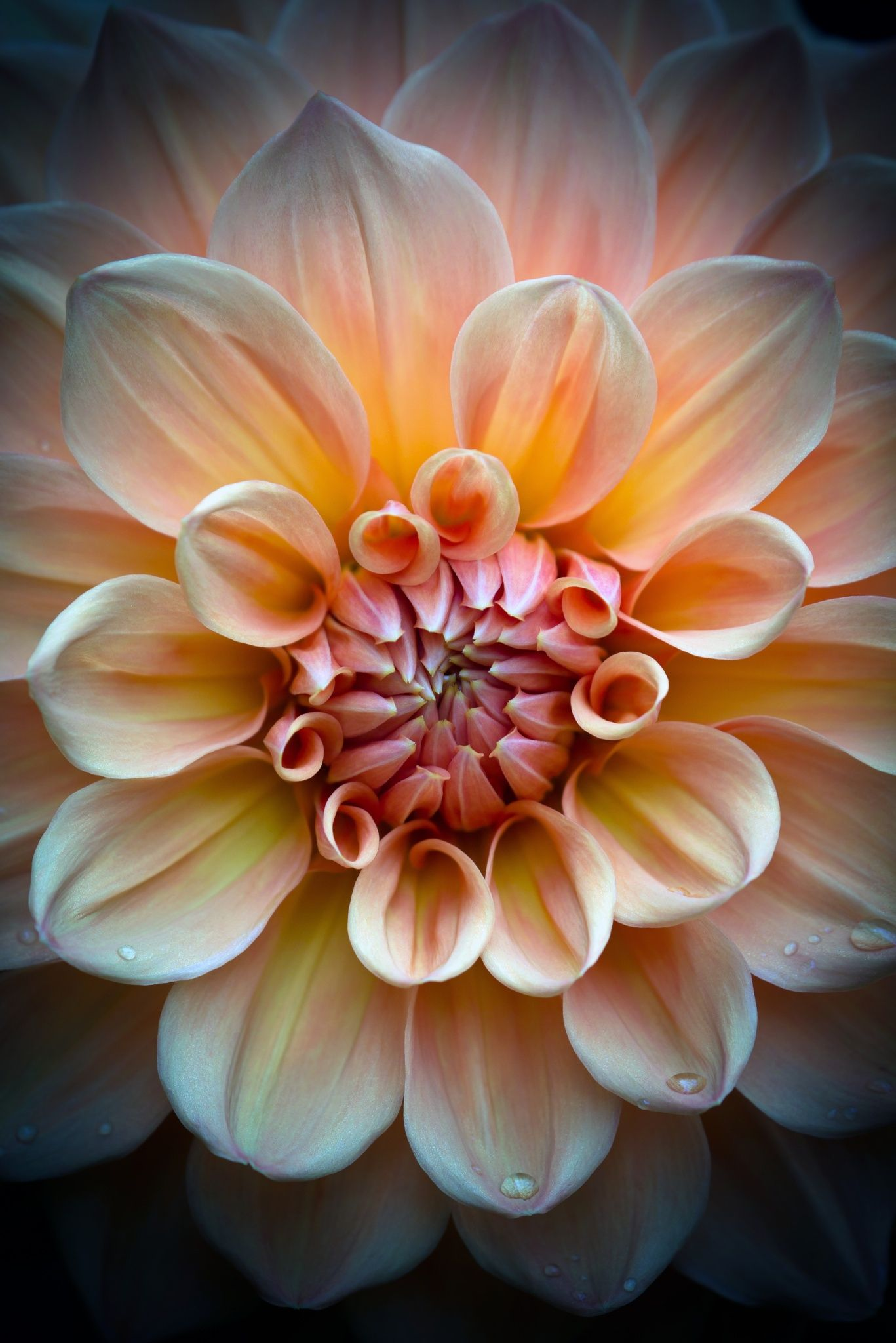 Dahlia By Roswitha Schacht From The Garden To The Table