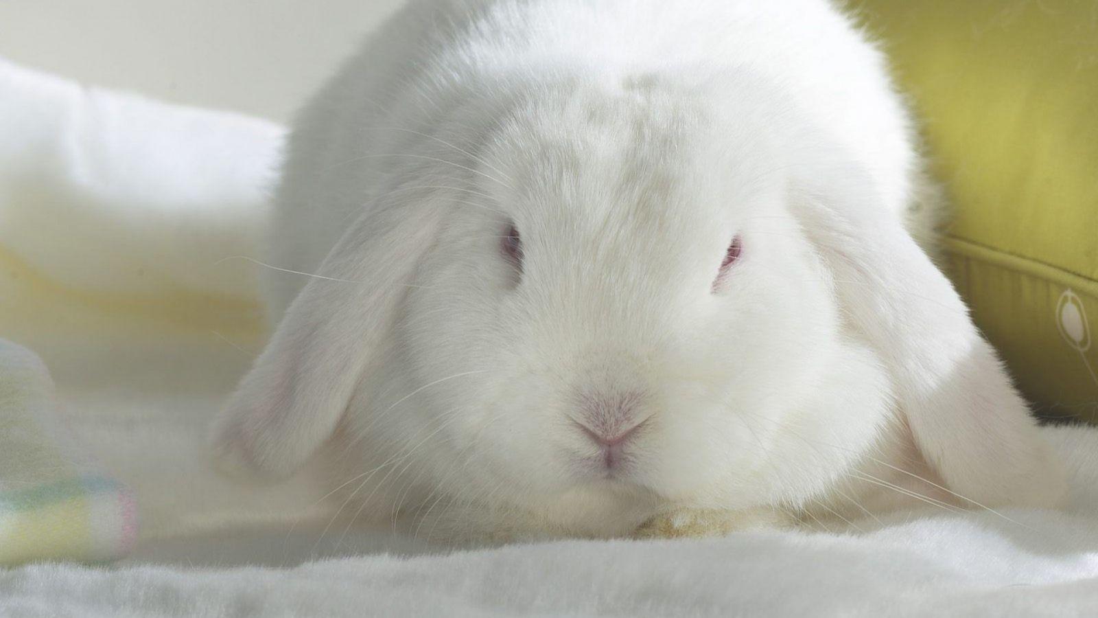 Bunny Rabbits Wallpaper Albino Lop Bunny Wallpaper Rabbit Wallpaper Beautiful Rabbit