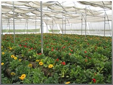 India How Bumblebees Can Boost Polyhouse Production In Karnal S Agro Business Gerbera Greenhouse Beautiful Gardens