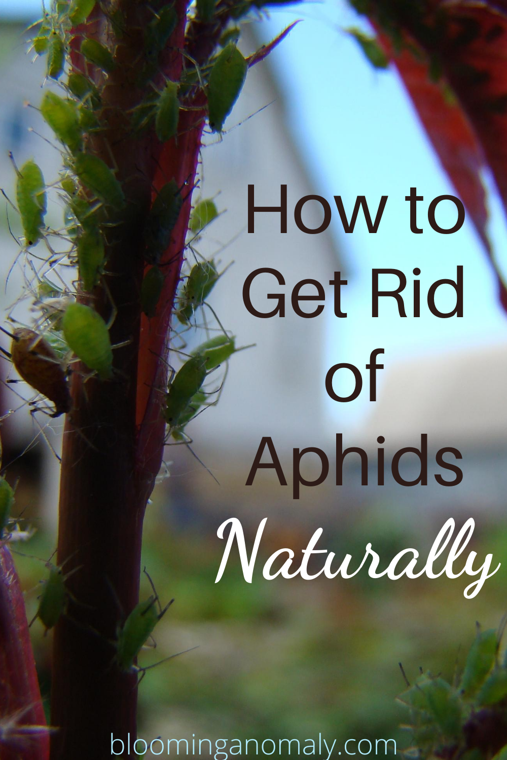 How To Get Rid Of Aphids Naturally Get Rid Of Aphids Aphids Aphids On Plants