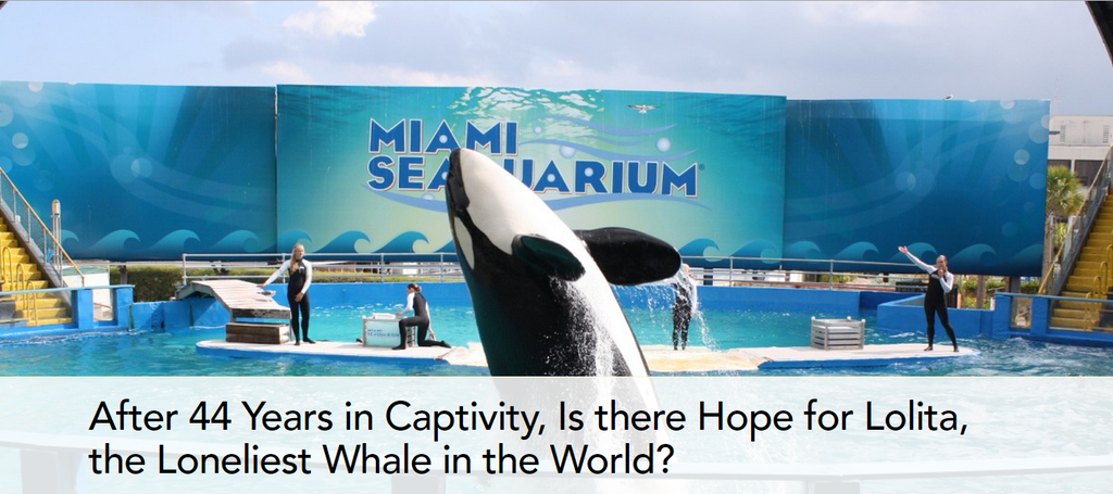 #Blackfish After 44 Years in Captivity Is there Hope for #LOLITA Loneliest Whale in the World? http://www.onegreenplanet.org/animalsandnature/is-there-hope-for-lolita-the-loneliest-whale-in-the-world …