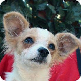 Walnut Creek Ca Pomeranian Chihuahua Mix Meet Ricochet A Puppy