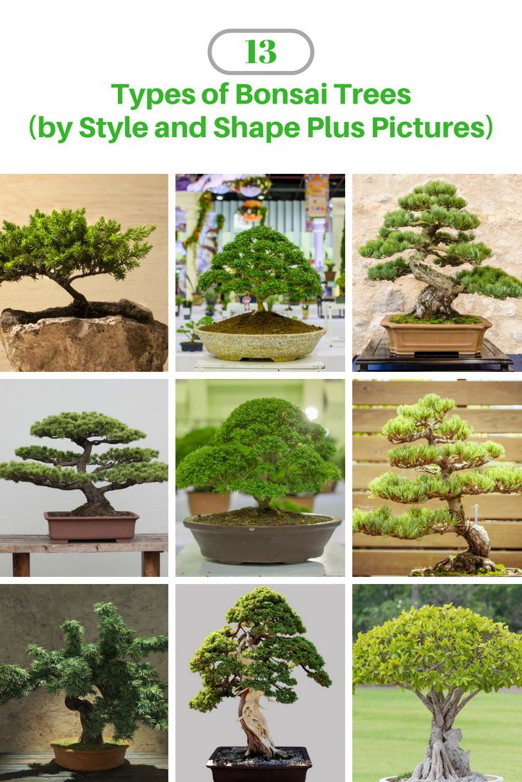 13 Types of Bonsai Trees (by Style and Shape Plus Pictures) #bonsaiplants