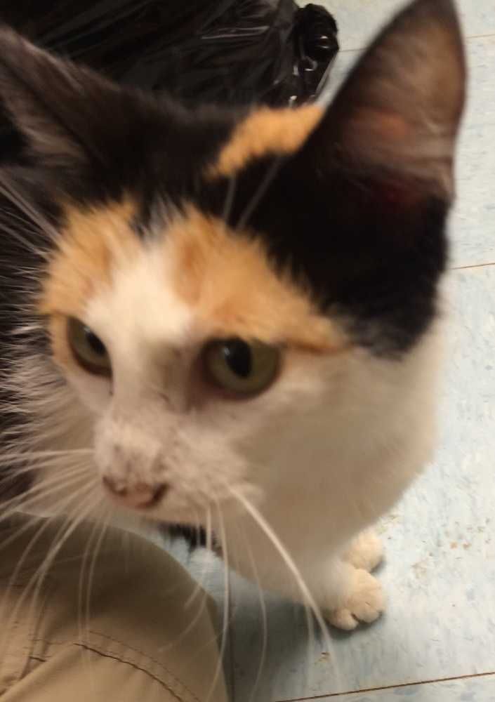 Meet Skittles A Petfinder Adoptable Domestic Medium Hair Cat Mustang Ok Skittles Is A Beautiful Calico Girl Who Was Broug Kittens Pets Animals