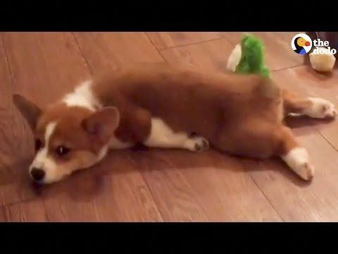 What Is Splooting Does Your Dog Sploot Corgi Puppy Dogs